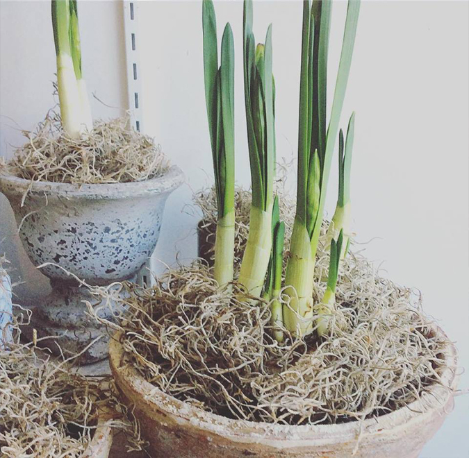 These pretty little paperwhites are ready for new homes.  They make great hostess gifts or centerpieces for your table.